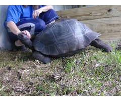 Giant Galapagos and Aldabra Tortoises for Adoption