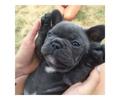 super adorable french bulldog ready for sale AKC registered