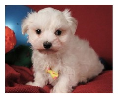 Maltese puppies 09 weeks old Healthy females & males