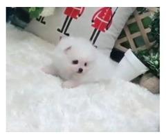 Snow-White Pomeranian - Abigail