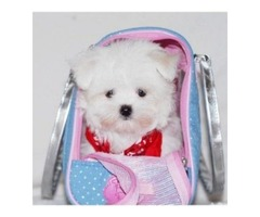 Adorable outstanding Maltese puppies For sale