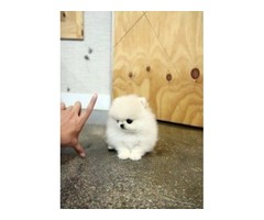 Two Awesome T-Cup Pomeranian Puppies For sale