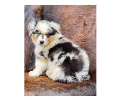 Stunning smart, healthy Australian Shepherd puppies for sale