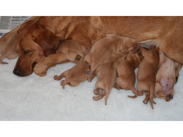 Hello everyone! We have 4 lovely Red Fox Labrador Pups ready for sale.    free-classifieds.co.uk