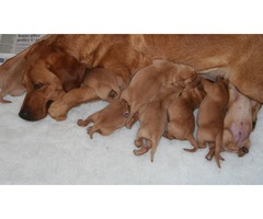 Hello everyone! We have 4 lovely Red Fox Labrador Pups ready for sale.
