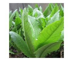 100pcs Green Asparagus Lettuce Seeds Vegetable Garden Biennial Herb Plant
