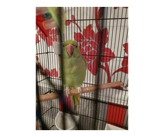 Indian red neck parrot | Free-Classifieds.co.uk